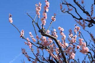 梅の写真・画像素材[1931437]