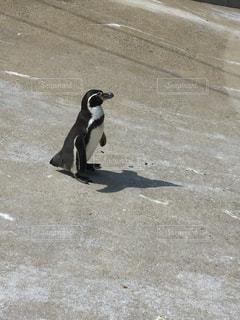 通りの上を歩くペンギンの写真・画像素材[1933734]