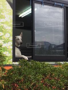 たそがれるイヌの写真・画像素材[1137784]