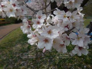 花見 - No.387069