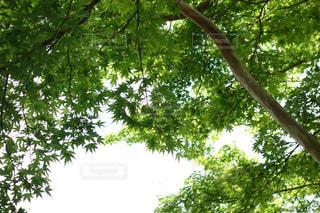 緑の紅葉の写真・画像素材[1091244]