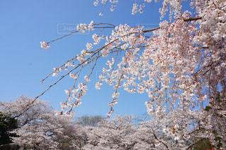 青空と桜の写真・画像素材[1099545]