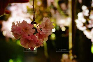 桜の写真・画像素材[1099557]