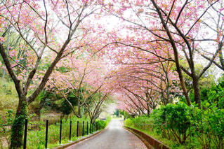 桜並木の写真・画像素材[1118848]