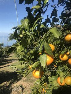 大きなオレンジ色の果物の写真・画像素材[2811542]