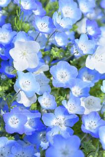 青と白のネモフィラの写真・画像素材[1091780]