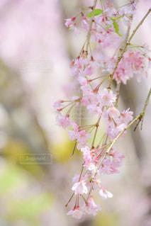 桜の写真・画像素材[1092299]