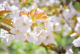桜の写真・画像素材[1092300]