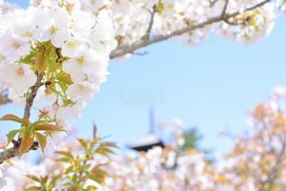 桜越しのお寺の写真・画像素材[1092301]