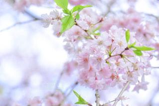 桜と若葉の写真・画像素材[1092308]