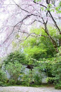 桜の絨毯の写真・画像素材[1092309]