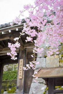 枝垂れ桜と総門の写真・画像素材[1103696]