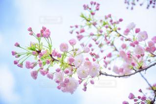 桜と青空と - No.1103698