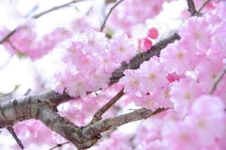 桜 - No.1103699