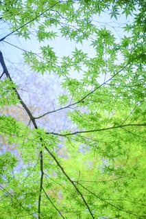 もみじと桜の写真・画像素材[1103706]