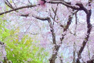 歴史ある枝垂れ桜の写真・画像素材[1103801]