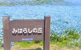 ネモフィラの丘の写真・画像素材[1114779]