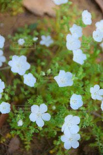 白のネモフィラの写真・画像素材[1130285]