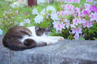 つつじと猫の写真・画像素材[1141679]