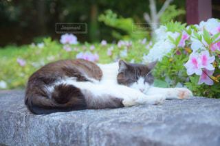 つつじと猫の写真・画像素材[1141682]