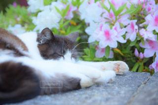 つつじと猫の写真・画像素材[1141686]