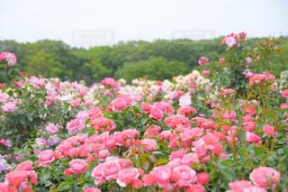 京成バラ園の写真・画像素材[1206335]