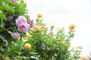京成バラ園の写真・画像素材[1215961]