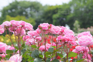 京成バラ園の写真・画像素材[1215966]