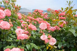 京成バラ園の写真・画像素材[1215974]