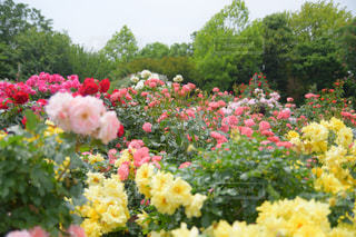 京成バラ園の写真・画像素材[1215975]