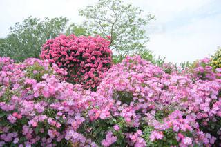 京成バラ園の写真・画像素材[1227494]