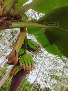 バナナの木の写真・画像素材[1276283]