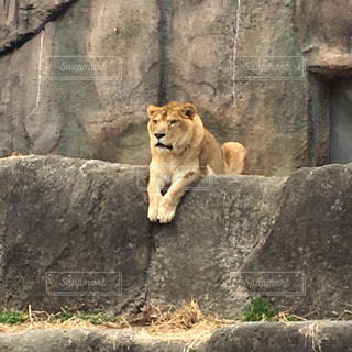 大きな岩の上にライオンが座るの写真・画像素材[1092126]