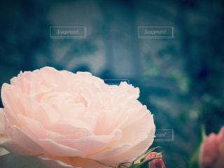 淡いピンクのバラの写真・画像素材[1095508]