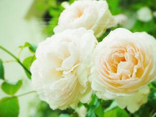 大輪の淡いピンクのバラの写真・画像素材[1095509]