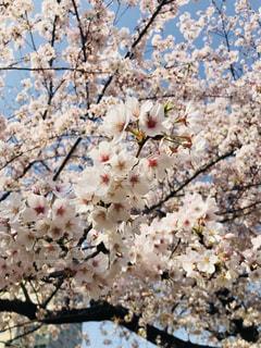 出勤時の桜は満開だったの写真・画像素材[1092464]