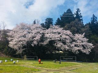 公園の桜の写真・画像素材[1117829]