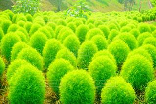緑鮮やかなコキアの写真・画像素材[1092861]