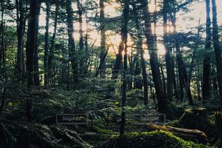フォレスト内のツリーの写真・画像素材[1640363]