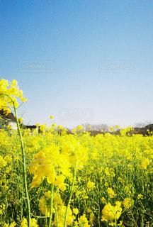 野原の黄色い花の写真・画像素材[3033065]