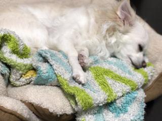 毛布の上に横たわる犬の写真・画像素材[1092726]
