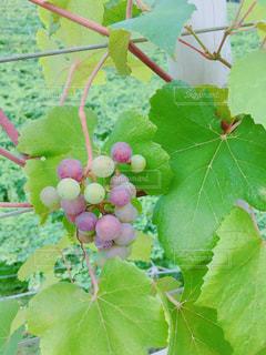 ワイン工房のブドウの写真・画像素材[1092767]