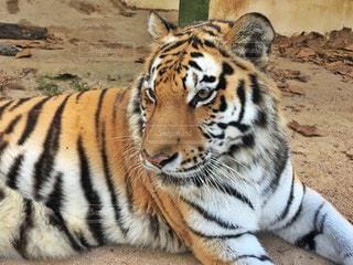 地面に横たわる虎の写真・画像素材[1659462]