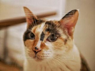 カメラを見つめる猫の写真・画像素材[1797617]