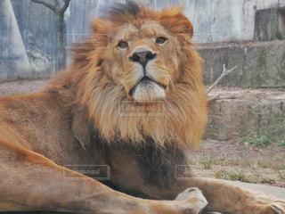 横たわるライオンの写真・画像素材[2281636]