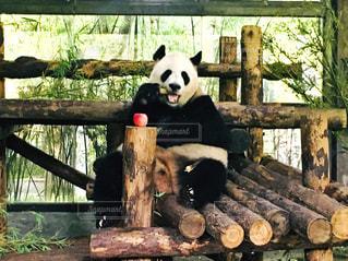 ごはんを食べるパンダの写真・画像素材[2335835]