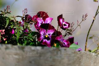 紫色の花のアップの写真・画像素材[1092930]