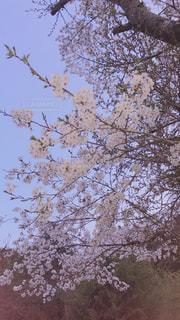 インスタ映え  夕桜の写真・画像素材[1093414]