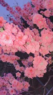 桜の写真・画像素材[1093415]