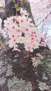 桜アップの写真・画像素材[1101313]